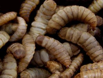Black soldier fly larvae don't necessarily look delicious, but they are nutritious.