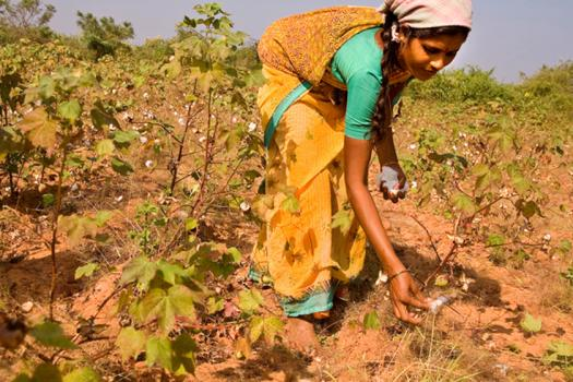 India's cotton production has decreased due to pests.