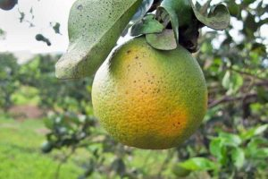 Citrus greening is a disease that kills citrus trees and has devastated the Florida citrus industry.